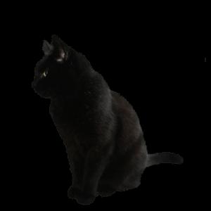 Zwarte kat   Dierenopvangtehuis de Bommelerwaard