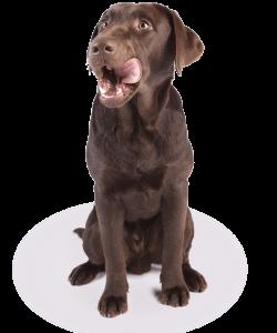 Labrador Hond   Dierenopvangtehuis de Bommelerwaard