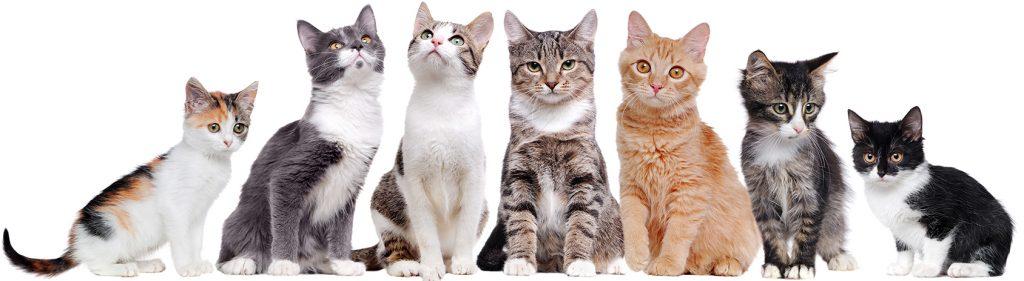 Katten groot | Dierenopvangtehuis de Bommelerwaard