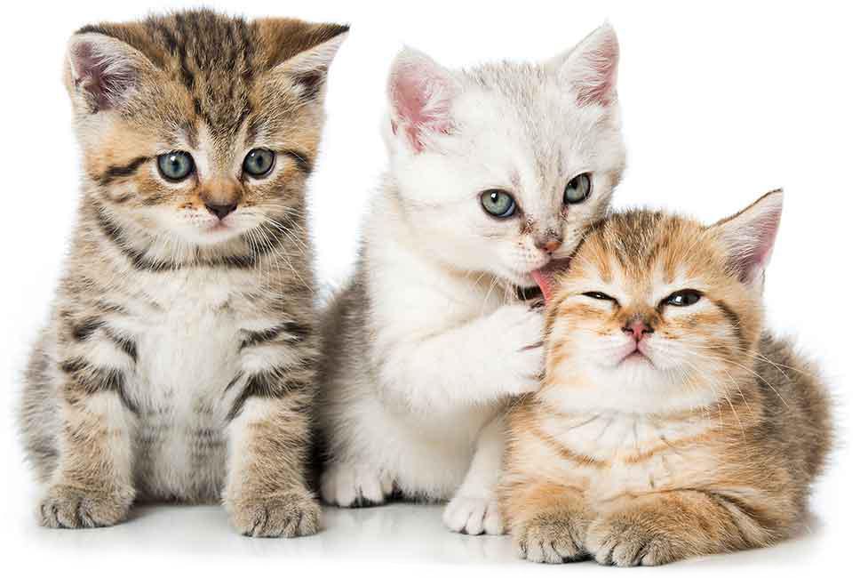 Kittens | Dierenopvangtehuis de Bommelerwaard